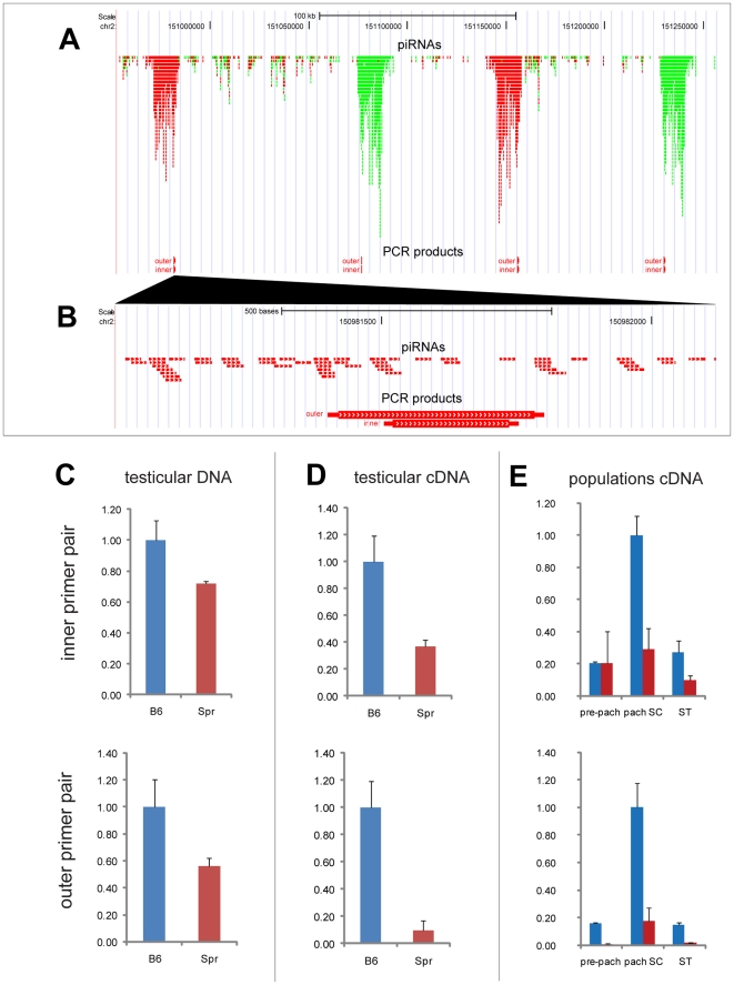 Quantitative real-time RT-PCR of piRNA clusters from Chromosome 2. (a) Two nested primer pairs were designed (outer and inner primer pairs), which amplify parts of all four piRNA clusters in chromosomal region chr2: 150,953,000–151,257,000. (b) Detailed view of part of the first cluster, which shows localization of the outer and inner primer PCR products. (c) Quantitative real-time PCR of testicular DNA indicate different copy number between Spr and B6. (d) Strong downregulation was observed in testicular cDNA. (e) In B6 the piRNA clusters were predominantly expressed in pachytene spermatocytes, with substantial downregulation in Spr. Two or three biological samples were used for each comparison. The expression was related to concentration and normalized to B6 expression. Standard deviations are plotted. Pre-pach: pre-pachytene spermatocytes; pach SC: pachytene spermatocytes; ST: spermatids.