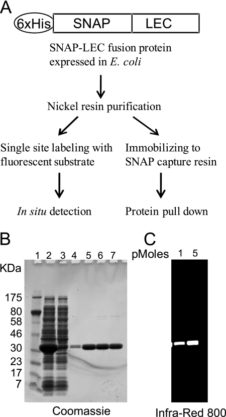 Expression of recombinant SNAP-fusion galectins. A , constructs for producing SNAP-LEC fusions and their uses in in situ detection of carbohydrates and in pull down of specific glycoproteins. B , expression and purification of SNAP-LEC-6. Lane 1 , molecular weight marker; lane 2 , lysate from E. coli induced for recombinant protein expression; lane 3 , lysate from noninduced cells; lanes 4–7 , consecutive fractions eluted from nickel resin. C , purified recombinant SNAP-LEC-6 labeled with infrared dye.