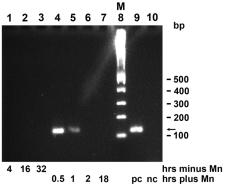 """Expression of mnxG gene in BAC-SubDo-03, grown, in absence of Mn (minus), or presence of Mn (plus). As described under """"Experimental Section"""", and schematically outlined in Figure 2C , the cultures were incubated for 4 hrs, 16 hrs, and 32 hrs ( lanes 1 to 3 ) in the absence of Mn; or, the microorganisms were cultivated in the absence of Mn and then exposed for 0.5 hr, 1 hr, 2 hr or 18 hrs to 100 μm MnCl 2 ( lanes 4 to 7 ). The same quantity of bacteria was taken after the indicated period of incubation. Then, RNA was extracted and the level of transcripts was semi-quantitatively determined by RT-PCR. The molecular size markers (M) are shown in lane 8 . In parallel, amplifications by RT-PCR in an assay supplemented with the mnxG-SubDo-03 containing plasmid (positive control [pc]), or with an empty pGEM-T vector (negative control [nc]). This PCR gel analysis is representative for five separate analyses performed."""