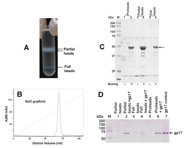 "Purification and characterization of phage heads. (A) The 10am13am heads were isolated by differential centrifugation followed by CsCl gradient centrifugation (see Materials and Methods for details). The two closely spaced bands at the top of the gradient contained partial heads that had ejected most of their packaged DNA, save an ∼8-kb piece. The band at the bottom of the gradient contained full heads in which the packaged T4 genome was stabilized (see Figure 3 legend for additional details). (B) Purification of partial heads by DEAE-Sepharose column chromatography. The two closely spaced head bands at the top of the CsCl gradient were pooled, dialyzed against 10 mM Tris-HCl (pH 7.5), 50 mM NaCl, and 5 mM MgCl 2 , and purified by ion-exchange chromatography (AKTA Prime, GE Healthcare). The column was pre-equilibrated with 50 mM Tris-HCl (pH 7.5) and 5 mM MgCl 2 , and a linear gradient of 0–300 mM NaCl was applied to elute the bound heads. The peak fractions were pooled, concentrated by filtration, and stored at 4°C. (C) The partial and full heads are fully expanded. The purified proheads, partial heads, and full heads were mixed with SDS gel loading buffer and kept at room temperature (""−"") or boiling temperature (""+"") for 5 min. The samples were then separated by 10% SDS-PAGE, stained with Coomassie blue R, and destained. Note that the major capsid protein, gp23* (position marked with arrow), was not seen in the room temperature samples because the expanded heads could not be dissociated into gp23* subunits. (D) Partial and full heads reassemble with the exogenous gp17. About 5×10 11 proheads, partial heads, or full heads were incubated with purified gp17-K577 (0.3 µM; 50:1 ratio of gp17 molecules to gp20 subunits) in a buffer containing 50 mM Tris-HCl (pH 7.5), 100 mM NaCl, and 5 mM MgCl 2 , at room temperature for 30 min. The head-gp17 complexes were sedimented by centrifugation at 18,000 rpm for 45 min, and the pellet was washed several times to remove any unbound gp17. The proteins were transferred to PVDF membrane, and Western blotting was performed using polyclonal gp17 antibodies. The results were confirmed by doing the same experiment with full-length gp17 and a GFP-gp17 fusion protein. Only the gp17-K577 (C-terminal 33 amino acids of gp17 were deleted) data are shown because gp17-K577 is protease resistant and migrates as a single band as opposed to three bands with the full-length gp17 and GFP-gp17, and also because there is no background overlapping band at the same position. The gp17 band in the full head lane (lane 4) is faint because some of these heads released the packaged DNA during the procedure, which resulted in poor recovery of the heads during the centrifugation and washing steps."