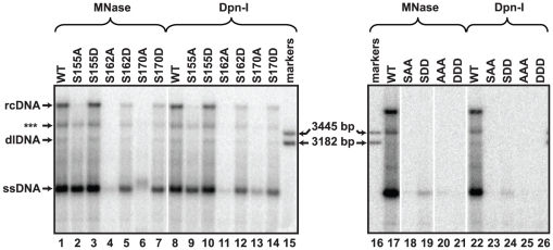 Southern blot analysis of capsid-derived DNA isolated from transfected cells. DNA was isolated from transfected cells by two different procedures. Cytoplasmic lysates were treated with MNase to digest unencapsidated nucleic acids and capsid DNA was subsequently isolated or total cytoplasmic DNA was isolated and then treated with the restriction enzyme DpnI, which digests transfected plasmid DNA. The positions of ssDNA, dlDNA, and rcDNA are indicated and the position of a linear, 3182 bp marker is also indicated. Each lane represents 1/3 of the HBV DNA from a 60 mm dish of transfected HepG2 cells. DNA was detected by hybridizing oligonucleotide probes 1833+, 1857+, 1876+, and 1995+ ( Table S1 ). (***) indicates the discrete, incomplete rcDNA (ircDNA) molecule (See Fig. 3 ).