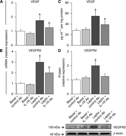 The blockade of IL-1R tI negatively impacts on leptin upregulation of VEGF/VEGFR2 expression in 4T1 cells. Effects of leptin and IL-1R tI-blocking antibodies on levels of VEGF ( A , mRNA and C , protein) and VEGFR2 ( B , mRNA and D , protein) in 4T1 cells. Cells were incubated with leptin (0, 1.2 n) and anti mouse IL-1R tI antibody (0.1 μ g ml −1 ) for 24 h. Cells incubated with non-specific species-matched IgG2b served as negative controls. The VEGF and VEGFR2 mRNA levels were quantified by real-time RT–PCR and normalised to the glyceraldehyde-3-phosphatase dehydrogenase expression. The VEGF and VEGFR2 protein were determined by ELISA and western blot (WB), respectively. The VEGFR2 results from WB were analysed by densitometric analysis (imageJ software) and normalised to β -actin as a control. (a) P