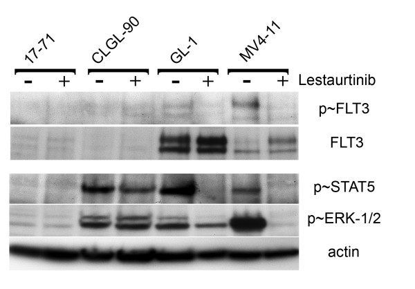 Downstream mediators of FLT3 ITD . Protein levels of FLT3, phospho-FLT3, phospho-STAT5 and phospho-ERK were assayed by Western blotting. Protein was harvested from cell lines that were grown both with and without lestaurtinib. Beta-actin was used as a loading control.