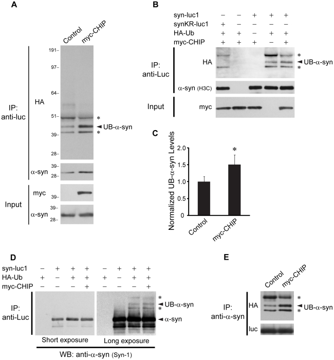 CHIP mediates ubiquitinylation of α-syn in cells. (A) Immunoprecipitations with anti-luc were performed from lysates of H4 cells transfected with HA-Ub, syn-luc1, and control vector or myc-CHIP as indicated. Immunoprecipitates were sequentially probed with anti-HA (upper) and anti-α-syn (middle) antibodies. Five percent of lysates used for immunoprecipitation was loaded as input and probed with anti-myc or anti-α-syn antibodies (lower). The middle band represents monoubiquitinylated α-syn (UB-α-syn). The asterisks (*) indicate immunoprecipitated bands that remain detectable by the anti-HA antibody following the substitution of all lysines within the α-syn sequence (see (B)). Molecular weight markers are indicated on left in kDa. (B) Immunoprecipitations with anti-luc were performed from lysates of H4 cells transfected with syn-luc1, synKR-luc1, HA-Ub, and myc-CHIP as indicated. Immunoprecipitated proteins were probed with anti-α-syn antibodies (H3C) which recognizes both syn-luc1 and synKR-luc1. The asterisks (*) correspond with the same bands indicated as such in (A). (C) Densitometric quantification of the band representing monoubiquitinylated α-syn when co-transfected with a control vector or myc-CHIP was performed from three independent experiments, one of which is represented in (A). Bars correspond to mean (± S.D.) gray value normalized to measures obtained for co-transfection of syn-luc1 and HA-Ub with control vector. *P