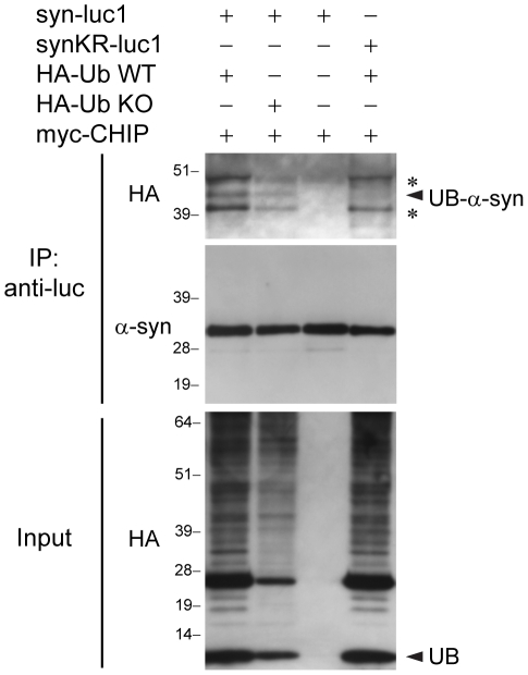 CHIP monoubiquitinylates α-syn. Immunoprecipitations with anti-luc were performed from lysates of H4 cells transfected with syn-luc1, synKR-luc1, HA-Ub WT, HA-Ub KO, and myc-CHIP as indicated. Immunoprecipitates were sequentially probed with anti-HA (upper) and anti-α-syn (Syn-1) (middle) antibodies. For the anti-α-syn blots, short exposure times were used to allow for the comparison of amount of α-syn immunoprecipitated in each of the conditions. Ubiquitinylated forms of α-syn are not detectable by Syn-1 at these shorter exposure times (see Figure 2D ). Five percent of lysates used for immunoprecipitation was loaded as input and probed with anti-HA antibodies which recognize HA-ubiquitin monomers (UB) and proteins with covalently attached HA-ubiquitin (lower). The middle band represents monoubiquitinylated α-syn (UB-α-syn). The asterisks (*) correspond with immunoprecipitated bands that remain detectable by the anti-HA antibody following the substitution of all lysines within the α-syn sequence. These are the same bands seen in Figure 2 . Similar results were found in each of three experiments.
