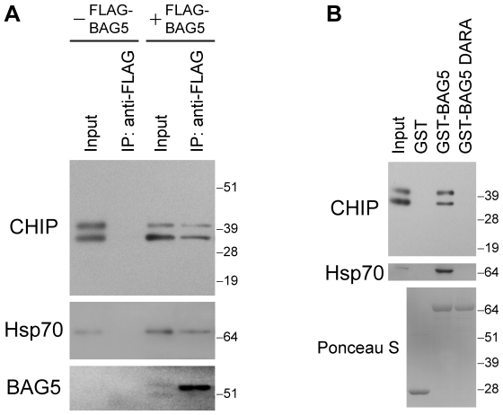 CHIP forms a protein complex with BAG5. (A) Immunoprecipitations with anti-FLAG antibodies were performed from lysates of H4 cells transfected with CHIP with or without FLAG-BAG5 as indicated. Immunoprecipitates were sequentially probed with anti-CHIP (upper), anti-Hsp70 (middle), and anti-FLAG (lower) antibodies. Ten percent of lysates used for immunoprecipitation was loaded as input. The upper CHIP band corresponds to monoubiquitinylated CHIP [62] . Molecular weight markers are shown on right. Similar results were found in three separate experiments. (B) PDAs were performed using lysates of H4 cells transfected with CHIP. Proteins that associated with GST alone, GST-BAG5, or GST-BAG5 DARA were probed with anti-CHIP (upper) and anti-Hsp70 (middle) antibodies. Input was 10% of lysates used for PDAs. The presence of equal amounts of GST fusion proteins was confirmed by Ponceau S staining of the membranes (lower). Molecular weight markers are indicated on right. Results are representative of four independent experiments.