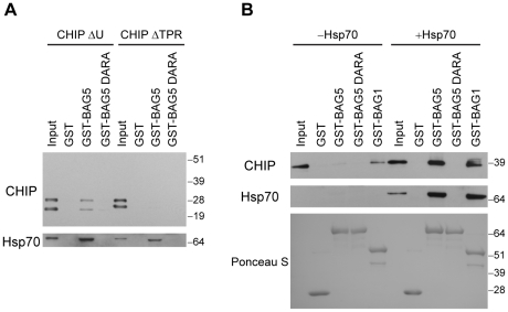 Hsp70 is required for the association between <t>CHIP</t> and <t>BAG5.</t> (A) PDAs with GST fusion proteins using lysates of H4 cells transfected with the CHIP deletion constructs CHIP ΔU and CHIP ΔTPR are shown. The blots were probed with anti-CHIP (upper) and anti-Hsp70 (lower) antibodies. The inputs shown are 10% of total lysates used in each assay. Molecular weight markers are indicated. Results are representative of three independent experiments. (B) PDAs were performed using GST fusion proteins and purified recombinant CHIP with or without Hsp70 as indicated. Proteins that associated with GST alone, GST-BAG5, GST-BAG5 DARA, or GST-BAG1 were probed with anti-CHIP (upper) and anti-Hsp70 (middle) antibodies. Input was 10% of proteins used for PDAs. The presence of equal amounts of GST fusion proteins was confirmed by Ponceau S staining (lower). Molecular weight markers are indicated. Results are representative of three independent experiments.