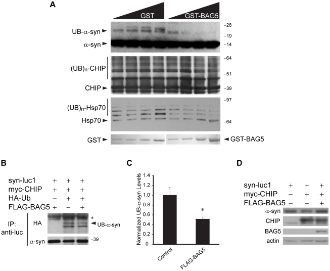 BAG5 inhibits CHIP-mediated ubiquitinylation of α-syn in vitro and in cells. (A) In vitro ubiquitinylation assays were performed with increasing amounts of GST or GST-BAG5 as indicated. Ubiquitinylation was determined by Western blot using anti-α-syn, anti-CHIP, or anti-Hsp70 antibodies. GST fusion proteins were stained with Ponceau S. Similar results were found in three experiments. (B) Immunoprecipitations with anti-luc were performed from lysates of H4 cells transfected with syn-luc1, myc-CHIP, HA-Ub, and FLAG-BAG5 as shown. Ubiquitinylation of α-syn was detected using anti-HA antibodies (upper). The arrow indicates the monoubiquitinylated form of α-syn (UB-α-syn). Immunoprecipitation of equivalent amounts of α-syn was confirmed by probing with anti-α-syn antibodies (lower). The asterisk (*) indicates cross-reactivity of the secondary antibody with the immunoglobulin light chain. (C) Quantification by densitometric analysis of the UB-α-syn band with co-transfection of a control vector or FLAG-BAG5 from three independent experiments, one of which is represented in (B). Bars shown correspond to mean (±S.D.) gray value normalized to measures obtained for the control vector. *P