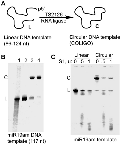 Circularization of DNA templates (COLIGOs) for Rolling Circle Transcription. A . Synthetic 5′ phosphorylated linear DNA sequences were circularized using the thermostable TS2126 RNA ligase. B . Denaturing polyacrylamide gel electrophoresis (DPAGE) at four stages during miR-19am DNA circle synthesis. Lane 1, crude DNA IDT Ultramer synthesis of COLIGO 19am. Lane 2, after preparative DPAGE. Lane 3, crude circularization product. Lane 4, DNA circle template following Exonuclease I clean-up. Visualization using Stains-All. C . Verification of circular topology. Nicking of circular templates by S1 nuclease leads first to linear forms, which are then further digested to successively smaller linear forms.