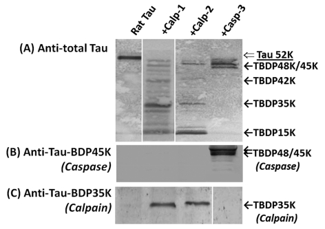 Tau protein in rat brain lysate is sensitive to in vitro calpain and caspase-3 digestion The lysate of naïve rat hippocampus was in vitro cleaved by calpain-1, calpain-2 and caspase-3: Control; Calpain-1 (1:500 protease/substrate ratio); calpain-2; (1:200 protease/substrate ratio); or caspase-3 digestion (1:50 protease/substrate ratio). The pattern of the tau protein fragmentation was monitored with total tau antibody ( A ) or antibodies specific to caspase-mediated TauBDP-45K ( B ) and calpain-mediated TauBDP-35K ( C ) respectively.
