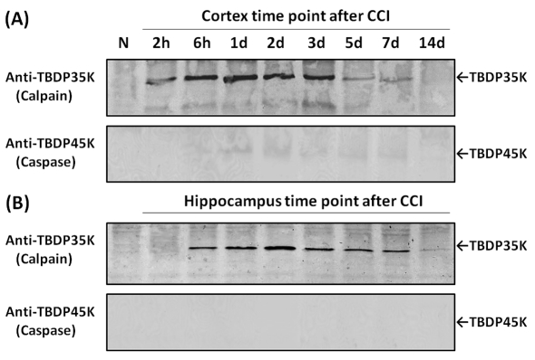 Examination of relative contribution of calpains versus caspase-3 in tau proteolysis in rat cortex and hippocampus following TBI with tau-fragment-specific antibodies Western blot of naïve and CCI cortex ( A ) and hippocampus ( B ) time course samples similar to those of Figure 5 . However, these blots were probed with polyclonal antibody specific to caspase-mediated TauBDP-45K (lower panel), or polyclonal antibody specific to calpain-mediated TauBDP-35K (upper panel). Results shown are representative of three separate experiments.