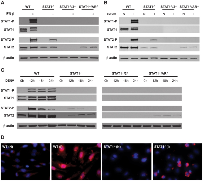 Activation of STAT1 and STAT2 in bone marrow-derived macrophages. (A–C) Whole cell lysates were generated from bone marrow-derived macrophages that were isolated from WT, STAT1 −/− , STAT1 −/− /2 −/− , or STAT1 −/− /AR −/− mice and treated with (A) 1000U/mL recombinant murine IFN-β for 15 min, (B) serum from naïve (N) or S221-infected (I) mice for 1 hour, or (C) infected with S221 (MOI = 5) for the times indicated. Protein levels of STAT1, phosphorylated STAT1, STAT2, phosphorylated STAT2, and beta-actin were examined by Western blot. (D) Nuclear localization of STAT2 in bone marrow-derived macrophages isolated from WT and STAT1 −/− mice, and treated with serum from naïve (N) or S221-infected (I) mice for 1 hour. STAT2 (red), and DAPI (blue). Original magnification, ×400. Images are representative of each strain. Data are representative of two or more individual experiments.