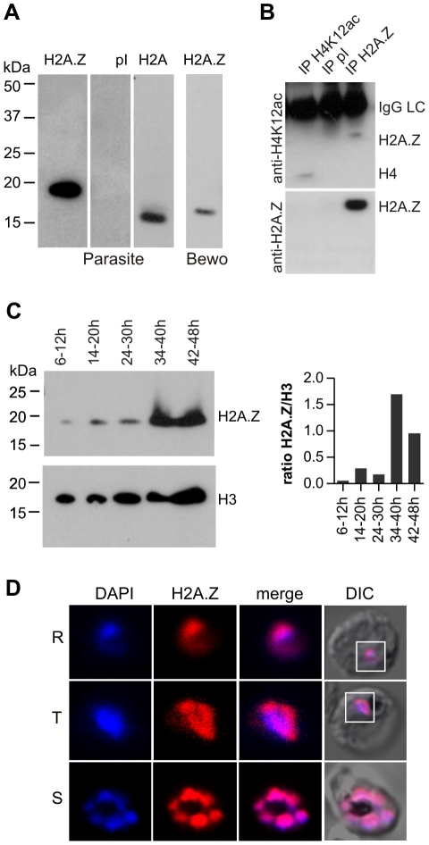 PfH2A.Z is expressed in the nucleus throughout asexual differentiation. Full length PfH2A.Z was expressed as a GST-fusion protein in E. coli and used to immunize rabbits. (A) Specificity of antisera. Parasite extracts were separated by SDS-PAGE and analysed by western blot. Anti-PfH2A.Z antiserum specifically reacted with PfH2A.Z at 18 kDa in parasite extracts and did not cross-react with H2A at 15 kDa (1 st panel). Pre-immune serum (pI) does not show any reactivity (2 nd panel). Anti-H2A antiserum specifically detects H2A migrating at 15 kDa (3 rd panel). Anti-PfH2A.Z detects human H2A.Z in BeWo cell lysate (4 th panel). (B) Anti-PfH2A.Z immunoprecipitates acetylated PfH2A.Z. Upper panel: Anti-H4K12ac antibody labels immunoprecipitated PfH2A.Z (lane 3). Anti-H4K12ac recognises an acetylated epitope present in both H4 and PfH2A.Z. Anti-H4K12ac IP (lane 1) was performed as a positive control and shows precipitation of a band corresponding to H4. No bands are apparent after IP with pI serum (lane 2). The IgG light chain (IgGLC) from the precipitating antibodies is also detected by the secondary antibody. Lower Panel: western blot reprobed with anti-PfH2A.Z confirms specificity of the immunoprecipitation. (C) Western blot analysis across the asexual life cycle demonstrates expression of PfH2A.Z and H3 in all stages. In comparison to H3, PfH2A.Z protein expression peaks in parasites 34–40 hours post-invasion which corresponds to late trophozoites/early schizonts. The ratio of H2A.Z/H3 signal in the western blot was determined by densitometry and is presented in a bar graph. (D) Nuclear localization of PfH2A.Z is shown by indirect immunofluorescence analysis and confocal microscopy of fixed 3D7 parasites using anti-PfH2A.Z antibodies. DNA was visualized with DAPI. R = ring stage, T = trophozoite stage, S = schizont stage. DIC = differential interference contrast.