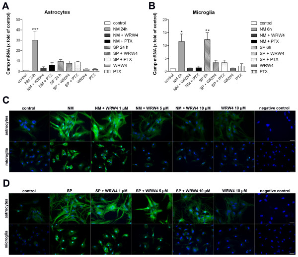 Inhibition of Neisseria meningitidis as well as Streptococcus pneumoniae -induced Camp (rat) expression by the FPRL1 antagonist WRW4 and the G-protein inhibitor pertussis toxin in glial cells . Bacterial supernatants from Neisseria meningitidis (NM) or Streptococcus pneumoniae (SP) were added to astrocytes (A) and microglia (B) with the addition of 200 ng/ml PTX (16 h preincubation) or 10 μM WRW4 (30 min preincubation) and with PTX (16 h preincubation) and WRW4 (30 min preincubation) alone to analyze the effect on Camp mRNA expression after 24 h (astrocytes; a ) or 6 h (microglia; b ) of treatment. The induction was analyzed and compared to an untreated sample (also with DMSO in equivalent amount). GAPDH (housekeeping gene) was used as an internal control. The data from three independent experiments performed in triplicate were assessed. An asterisk (*, p