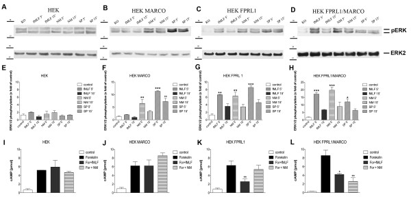 FPRL1- and MARCO-mediated ERK1/2 phosphorylation and changes of cAMP levels in transfected HEK293 cells . For analysis of ERK1/2 phosphorylation, untransfected (A) or hMARCO- (B) , hFPRL1- (C) , and hFPRL1/hMARCO- (D) expressing HEK293 cells were treated with Neisseria meningitidis (NM), Streptococcus pneumoniae (SP) or 1 μM fMLF for 5 and 15 min at 37°C. Cells were lysed, equal amounts of protein (5 μg) were dissolved by SDS sample buffer, and levels of total ERK2 and phosphorylated ERK1/2 were determined via immunoblotting. The positions of molecular mass markers are indicated on the left (in kDa). The mean ± SD of the three independent experiments were evaluated by densitometric quantification normalized to ERK2 expression (E to H) . Asterisks indicate a significant difference (*, p