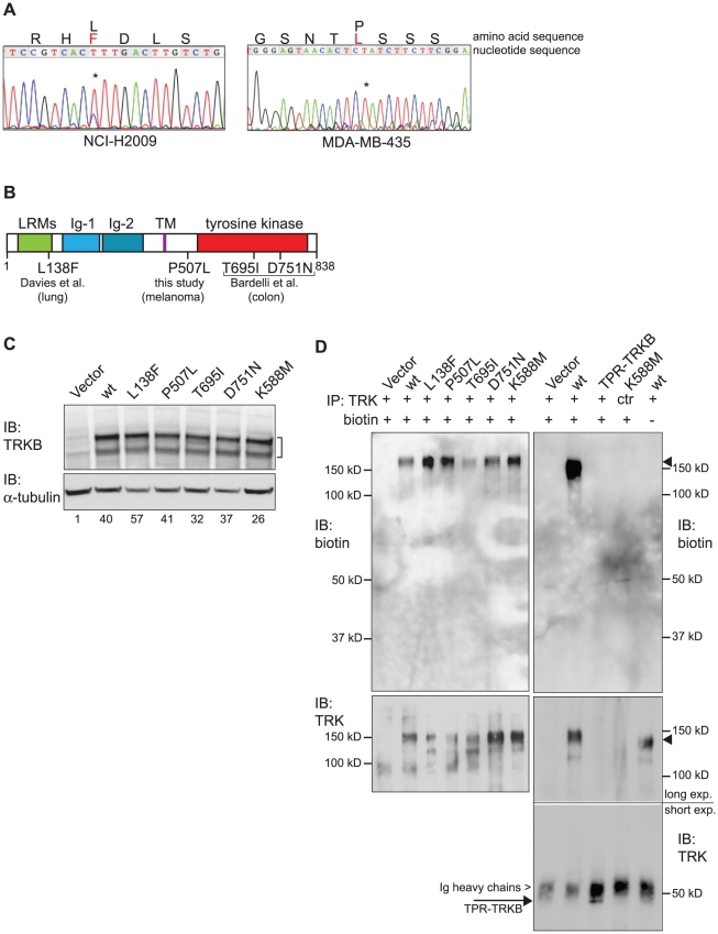Identification of human cancer-derived TRKB point mutants and generation of cell systems. ( A ) Sequencing analysis of gDNA from NCI-H2009 cells harboring the TRKB L138F mutation (left panel) and from MDA-MB-435 cells harboring the TRKB P507L mutation (right panel). Asterisks (*) indicate the respective mutated bases. Black letters denote wild-type residues, red letters denote mutant residues. ( B ) Schematic overview over all cancer-derived TRKB point mutations analyzed in this study. LRM: Leucine-Rich Motif, Ig: Immunoglobulin-like domain, TM: transmembrane domain. Numbers indicate positions of amino acid residues. ( C ) Expression levels of mutant or wild-type TRKB in RIE-1 cells, analyzed on immunoblot (IB). Tubulin serves as loading control. Numbers represent quantification of TRKB signal, normalized to alpha-tubulin, and relative to Vector control. ( D ) Cell surface biotinylation assay showing that at least a significant fraction of all TRKB mutants localizes to the cell membrane. Total cell surface proteins were biotinylated with Sulfo-NHS-LC-Biotin, lysed and TRKB was immunoprecipitated (IP) with TRK antibody (C-14, C-13 for control). After gel electrophoresis, biotinylated TRKB was visualized with streptavidin-HRP and total TRKB with TRK antibody (C-14). All wild-type and mutant TRKB proteins became biotinylated (upper left panel). On the right hand side the specificity of the assay is demonstrated: biotin signal was only detected for full-length TRKB (upper right panel, second lane), but not for cytosolic, truncated TPR-TRKB [25] (third lane, expected at ∼50 kD), and not in the control IP (lane 4) or in the absence of Sulfo-NHS-LC-Biotin (lane 5). IP of total full-length and truncated TRKB is shown in bottom panels. Arrowheads indicate full-length TRKB, arrow indicates truncated TPR-TRKB (just below Ig heavy chains).