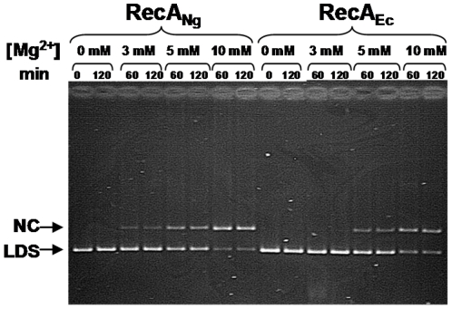 Strand exchange activity of RecA Ng and RecA Ec at varying levels of Mg 2+ . Reactions were carried out as described in Materials and Methods using completely homologous ΦX174 DNA with the indicated levels of Mg 2+ present in the reactions. A representative gel shows aliquots of the strand exchange reactions that were removed and stopped at the times indicated. Nicked circular product (NC) and linear dsDNA (LDS) are noted.