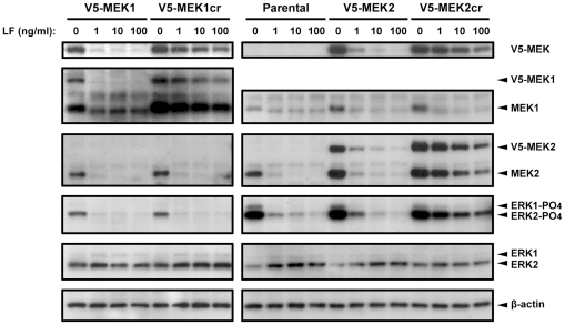 Individual MEK signaling in LeTx-treated SK-MEL-28 cells. SK-MEL-28 parental cells and cells stably expressing V5-MEK or V5-MEKcr were treated with LeTx (1 µg/ml PA plus 0, 1, 10, or 100 ng/ml LF) for 24 h. Total cell lysates were then harvested and immunoblotted with antibodies against the V5 epitope to confirm the cleavage resistance of V5-MEKcr (top panels). Antibodies against the carboxyl terminus of MEK1 (second panel) and the carboxyl terminus of MEK2 (third panel) were used to demonstrate individual MEK expression in LeTx-treated cells. Antibodies against phospho-ERK1/2 (fourth panel) and total ERK1/2 (fifth panel) were used to examine ERK activation, and an antibody against β-actin and β-tubulin were used as a loading control (bottom panels).