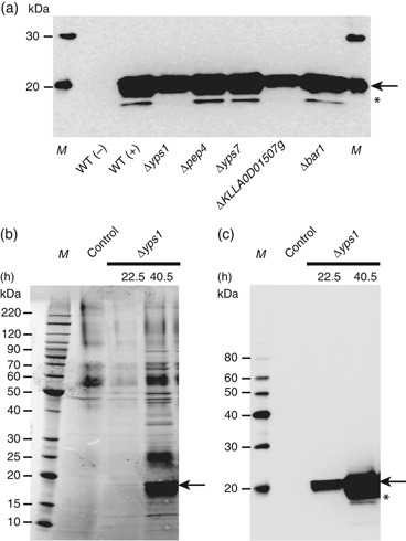 Secretion of human interferon Hy3 by protease-deficient strains. (a) Western blot analysis of recombinant Hy3 present in SCM derived from strain GG799 (wt) (± an expression vector) and each protease mutant. (b, c) Analysis of Hy3 secreted by the Kluyveromyces lactis Δ yps1 mutant grown to high cell density in a bioreactor. Hy3 secreted after 22.5 and 40.5 h of fermentation was visualized by SDS-PAGE separation of SCM and either Coomassie blue staining (b) or Western blotting (c). SCM from GG799 cells not expressing Hy3 was analyzed as a negative control. In all panels, arrows indicate intact Hy3 protein and M represents a molecular weight marker. In (a) and (c), the asterisk denotes a proteolytic product of Hy3.