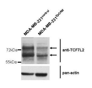 <t>TCF7L2</t> protein expression . Western Blot showing lower amounts of TCF7L2 protein expression in MDA-MB-231 EpCAM cells compared to their empty vector counterparts.