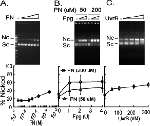 Nucleotide incision of peroxynitrite-damaged plasmid DNA by Fpg and Mtb UvrA, UvrB, and UvrC proteins. (A) Plasmid DNA (0.5 mg/mL) was incubated with increasing concentrations of peroxynitrite (PN) in buffer containing 150 mM potassium phosphate buffer (pH 7.2) and 25 mM sodium bicarbonate. The DNA (500 ng) was resolved on 1% agarose gels, and percent nicked products was plotted vs concentration of PN. The data show means ± SD from three independent experiments (lower panel). Error bars fall within the symbols. (B) Plasmid (25 nM) treated with PN (open triangles, 50 μM; open circles, 200 μM) and incubated with increasing amounts of Fpg. Means ± SD from three independent experiments (lower panel). (C) Plasmid (25 nM) treated with PN (5.0 × 10 −5 M) was incubated with 100 nM UvrA, increasing concentrations of UvrB (0, 50, 100, 200, or 300 nM), and 150 nM UvrC. The data show means ± SD from three independent experiments (lower panel).