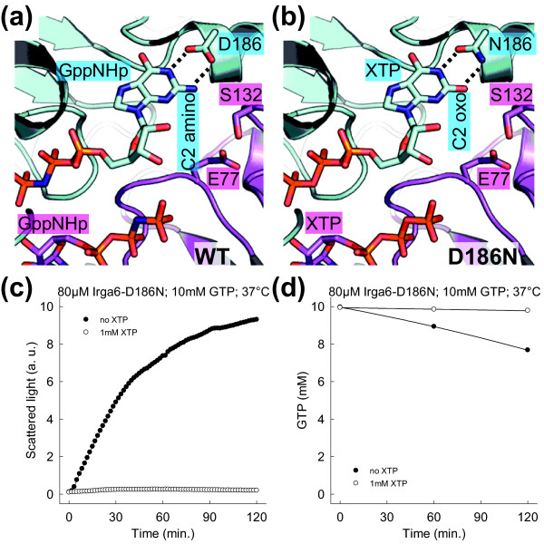 The nucleotide base is part of the catalytic interface . (a and b) View of the nucleotide-binding region. The Irga6 dimer model (Figure 4) is shown. Glu77, Ser132 (magenta), Asp186 (cyan), of WT Irga6, with two GppNHp nucleotides (a) and modeled Asn186 (cyan), of Irga6-D186N, with two XTP nucleotides (b) are shown. The interactions of Asp186 with GppNHp and of Asn186 with XTP are represented by dotted lines. (c) Oligomerisation of 80 μM Irga6-D186N protein was monitored by light scattering in the presence of 10 mM GTP at 37°C. The experiment was performed with and without the addition of 1 mM XTP. (d) Hydrolysis of 10 mM GTP (with traces α 32 P-GTP) was measured in the presence of 80 μM Irga6-D186N protein at 37°C. The experiment was performed with and without the addition of 1 mM XTP. Samples were assayed by TLC and autoradiography.