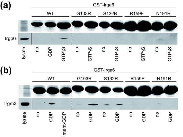 The catalytic interface is involved in Irga6-Irgb6 and Irga6-Irgm3 interactions . Pull-down of Irgb6 (a) and Irgm3 (b) with recombinant GST-tagged Irga6 protein from IFNγ-stimulated gs3T3 fibroblasts lysate in the presence or absence of guanine nucleotides (0.5 mM GDP, GTPγS or mant-GDP). GST-Irga6 protein was visualised by Ponceau S staining upon blotting (top rows). Irgb6 and Irgm3 were detected with anti-Irgb6 and anti-Irgm3 monoclonal antibodies (bottom rows). A shorter exposure of the lysate input is shown. Dotted lines indicate positions where irrelevant lanes were removed from the image.