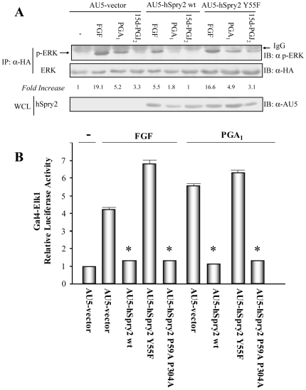 Overexpression of hSprouty2 (hSpry2) inhibits cyP-elicited ERK/Elk-1 pathway activation. ( A ) HeLa cells transiently co-transfected with pCEFL-KZ-HA-ERK1 and either pCEFL-KZ-AU5-hSpry2 wt, pCEFL-KZ-AU5-hSpry2 Y55F, or pCEFL-KZ-AU5 (AU5-vector), were serum-starved for 18 h and then incubated with vehicle (-), 50 ng/ml FGF, or 10 µM PGA 1 (or 15d-PGJ 2 ), for 15 min. Cell lysates were immunoprecipitated with anti-HA mAb, and analyzed by immunoblot using anti-p-ERK and -HA antibodies. Results were similar in three additional experiments. The factor by which values of p-ERK increased is estimated as mean of four separate assays (in each case with a SD lower than 10% of mean). The expression levels of AU5-hSpry2 constructs were detected by immunoblotting whole cell lysates (WCL) with anti-AU5 mAb (lower panel). ( B ) HeLa cells were co-transfected with pcDNAIII-Gal4-Elk-1, pGal4-Luc, and pRL-TK together with pCEFL-KZ-AU5 containing the indicated hSpry2 constructs in (A), and also pCEFL-KZ-AU5-hSpry2 P59A P304A. The transfected cells were serum-starved for 18 h, incubated with vehicle (-), either 50 ng/ml FGF, or 10 µM PGA 1 , for 8 h, and then assayed for luciferase activity. The data are the mean and SD of three separate assays performed in triplicate (* vs AU5-vector + FGF, or + PGA 1 : p
