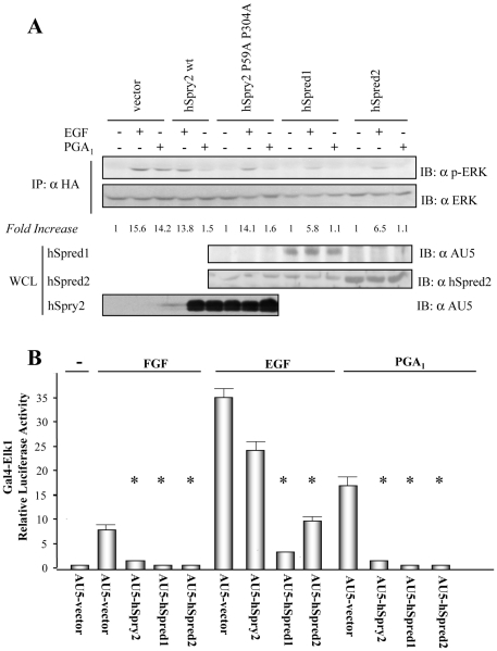 hSpred1 and hSpred2 block PGA 1 -induced ERK/Elk-1 pathway activation. ( A ) HeLa cells transiently co-transfected with pCEFL-KZ-HA-ERK1 and either pCEFL-KZ-AU5-hSpry2 wt, pCEFL-KZ-AU5-hSpry2 P59A P304A, pCEFL-KZ-AU5-hSpred1, pCEFL-KZ-AU5-hSpred2, or pCEFL-KZ-AU5 (AU5-vector), were serum-starved for 18 h and then incubated with vehicle (-), either 100 ng/ml EGF, or 10 µM PGA 1 , for 15 min. Cell lysates were immunoprecipitated with anti-HA mAb and analyzed by immunoblot using anti-p-ERK and -HA antibodies. Results were similar in three additional experiments. The factor by which values of p-ERK increased is estimated as mean of four separate assays (in each case with a SD lower than 10% of mean). The expression levels of AU5-hSpry2, AU5-hSpred1, or AU5-hSpred2, constructs were detected by immunoblotting WCL with the corresponding mAb (lower panels). ( B ) HeLa cells were co-transfected with the plasmids pcDNAIII-Gal4-Elk-1, pGal4-Luc, and pRL-TK together with pCEFL-KZ-AU5 containing the indicated hSpry2, or hSpred1, or hSpred2, constructs denoted in (A). The transfected cells were serum-starved for 18 h, incubated with vehicle (-), either 100 ng/ml EGF, or 50 ng/ml FGF, or 10 µM PGA 1 , for 8 h, and then assayed for luciferase activity. The data are the mean and SD of three separate assays performed in triplicate (* vs AU5-vector + FGF, or AU5-vector + EGF, or + PGA 1 : p