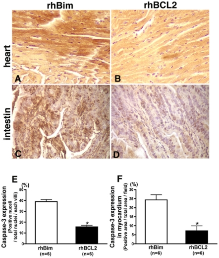 Treatment with rhBCL2 protein reduces cleaved caspase-3 in heart and intestine of mice following CLP. Mice were treated with a single i.p. injection of 1 µg rhBim (A, C) or 1 µg rhBCL2 (B, D) at 18 hours prior to CLP. Heart (A, B) or intestine (C, D) was stained for cleaved caspase with 3, 3′-diaminobenzidine (brown). Nuclei were stained with hematoxylin (purple). Original magnification is 400×. Panels E and F show quantitation of cleaved caspase-3 expression in myocardium (E) and intestinal villi (F) in mice treated with rhBim compared to those treated with rhBCL2. *p