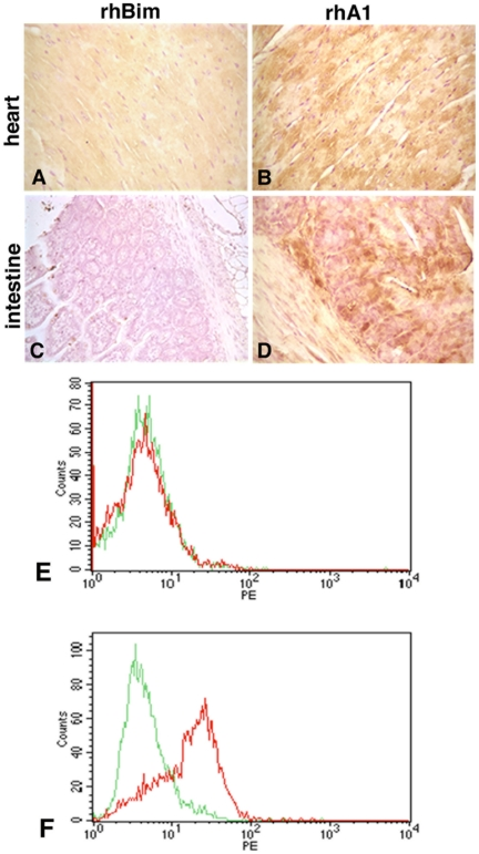 Treatment with rhBCL2A1 increases expression of endogenous BCL2 following CLP. Mice were treated with a single i.p. injection of 1 µg rhBim (A, C) or rhBCL2A1 (B, D) at 18 hours prior to CLP. Heart (A, B) and intestine (C, D) were examined at 24 hours following CLP. Endogenous mouse BCL2 protein was detected by immuno-staining with rabbit anti-mouse BCL2 antibody detected with 3, 3′-diaminobenzidine (brown) and the nuclei were stained with hematoxylin (purple). Representative FACS analysis of endogenous BCL2 expression in cardiomyocytes from mice treated as above with rhBim (E) or rhBCL2A1 (F). Green line represents isotype control and red line represents anti-mouse BCL2 antibody.