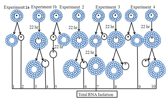 Diagrammatic illustration of the experimental design showing groups that were used for total RNA isolation, cDNA synthesis, array hybridization and quantitative and semi-quantitative RT-PCR validation of the array data . Numbers, 1 - 10, under each oocyte and CCs figure, represent the samples that were used for RNA isolation, cDNA synthesis and array hybridisation, as explained in materials and methods section. For all experimental groups, the samples were derived from GV stage COCs.