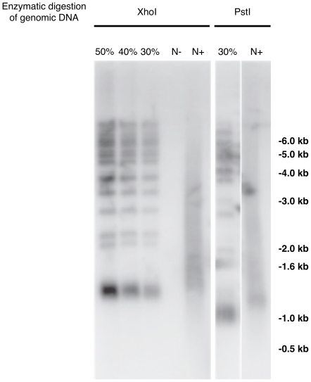 dDIP enrichment of yeast telomeric DNA evaluated by Southern blot. Extracted yeast DNA was first digested by XhoI or PstI, two enzymes cutting once in the conserved telomere proximal Y' repeat element giving a≈1.2 kb and ≈1.0 kb terminal restriction fragment respectively. A probe covering part of the telomeric Y' fragment including the terminal 0.35 kb TG1-3 repeats was used to reveal the capture of telomeric DNA. To evaluate the telomeres immunoprecipitation efficiency by the dDIP technique, 30%, 40% and 50% of the input DNA before immunoprecipitation was applied to the gel. N+, DNA from uninduced cells end-labeled with dATP, biotin-dATP and TdT. N-, DNA from uninduced cells end-labeled with dATP, biotin-dATP without TdT.