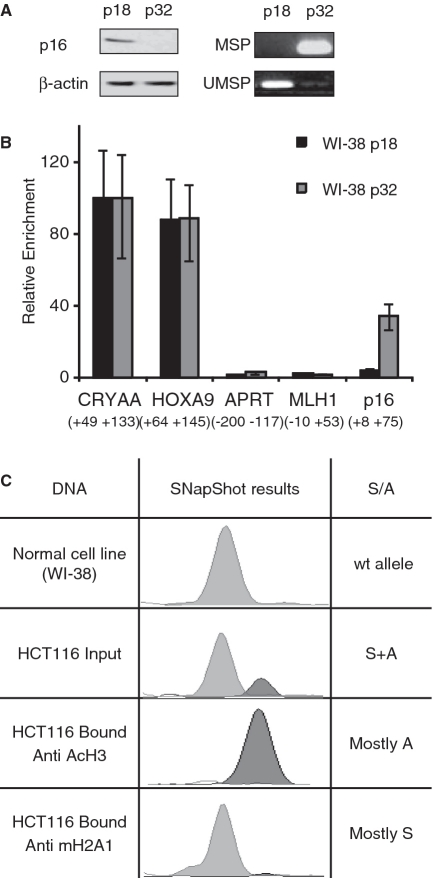 Silencing of CDKN2A is accompanied by macroH2A1 enrichment. ( A ) Expression and methylation status of CDKN2A in early passage (p18) and late passage (p32) WI-38 cell: western blot for p16 and β-actin showing loss of expression in p32 cells (left panel). Methylation of the CDKN2A promoter in p32 cell confirmed by methylation-specific PCR (MSP) on bisulfite-modified DNA (right panel). ( B ) ChIP with macroH2A1 antibody. The bound/input ratio for each cell line was calculated using quantitative real-time PCR. To compare between cell lines, enrichment of the bound fraction was normalized according to the positive control α-Crystallin, which is inactive in both cultures ( Supplementary Figure S6 ). An 8.5-fold enrichment for macroH2A1 at the CDKN2A promoter is observed in p32 cells versus p18 cells. Similar results were observed in three biological replicates (see also Figure 5 ). HoxA9 is another positive control and is not expressed. Aprt and MLH1 are expressed in both samples. The numbers under the gene names indicate position of the interrogated region relative to TSS. Error bars represent standard deviation. ( C ) ChIP analysis using anti-macroH2A1 or anti-acetylated H3 antibody on HCT116 cells. Input and bound fractions were analyzed by SNaPshot assay to discriminate between the silenced (wild-type) allele of CDKN2A (S) and the active mutant allele (A). The ratio between the two alleles (S/A ratio) was determined based on peak area using Genotyper 2.1 software (ABI PRISM).