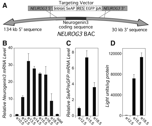 The BAC NEUROG3-SeAP/EGFP transgenes are expressed in the developing pancreas. (A) Homologous recombination ( Yang et al., 1997 ) was used to replace the human neurogenin-3 coding sequence in the NEUROG3 BAC (RP11-343J3T) with two reporter genes, SeAP and EGFP, flanked on the 5′ end by the human β-globulin intron and the 3′ end by the SV40 polyadenylation signal, and separated by a viral IRES. (B) Levels of neurogenin-3 mRNA in mouse pancreas were measured by real-time TaqMan RT-PCR at the embryonic dates shown and in adult islets, and are expressed relative to levels of histone H3.3a mRNA. (C) Levels of the SeAP / EGF P mRNA in mouse pancreas were measured by real-time SYBR Green RT-PCR at the embryonic dates shown and are expressed relative to levels of mouse β-actin mRNA. (D) Tissue SeAP activity was measured in pancreas homogenates at the embryonic dates shown and is expressed relative to total protein. All data represent mean + s.e.m. from at least three independent experiments.