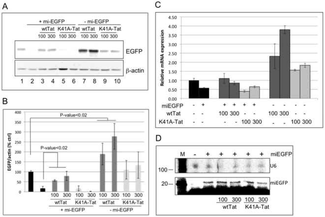The effect of Tat over-expression on the silencing potency of miEGFP. (A) Immunoblot analysis of protein extracts obtained from P4R5 cells 2 days post-transfection with indicated plasmids. The blot was analyzed using antibodies specific to EGFP and β-actin, which serves as a loading control. (B) Spot-densitometry analysis of two individual experiments, as described in (A). The data are shown as the ratio of EGFP to β-actin and presented as the percentage of control (no miEGFP, no Tat). Error bars represents standard deviation from 3 replicates. (C) Total RNA was extracted from cells transfected in (A) and, following DNase treatment, qRT-PCR was performed to quantitate EGFP mRNA. The data are normalized to β-actin and presented as fold change over control (no miEGFP). Error bars represent standard deviation from 3 replicates. (D) Lower panel: the RNA preparation from (C) was subjected to primer extension reaction to detect mature miEGFP. Upper panel: U6 RNA was detected by northern blotting to confirm RNA integrity and quantification.
