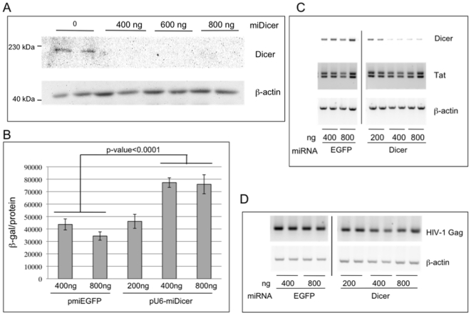 The impact of Dicer depletion on HIV-1 replication in 293T cells. (A) Dicer knockdown was confirmed by immunoblotting total protein extracts prepared 2d post-transfection from 293T cells transfected with indicated amounts of pU6-miDicer. The immunoblot was incubated with antibody specific to Dicer and β-actin that serves as a loading control. (B) 293T cells were transfected with pLAI, together with pmiEGFP or pU6-miDicer, as indicated. 2d post transfection infectious virus released into the supernatant was assayed using P4R5 indicator cells (see Materials and Methods ). Error bars represent standard deviation from 6 replicates. (C) Total RNA isolated from cells in (B) was subjected to semi-quantitative RT-PCR to determine the mRNA levels of Dicer, HIV-1 Tat, and β-actin. Following PCR, products were analyzed by electrophoresis in 2% agarose and ethidium bromide staining. PCR products are resolved on the same gel and irrelevant samples are cropped out. D) Total RNA isolated in (C) was treated with DNase, and following cDNA synthesis with a Gag mRNA specific primer, semi-quantitative PCR was performed and products were analyzed as in (C). PCR for β-actin following oligo(dT)-primed cDNA synthesis serves as a loading control.