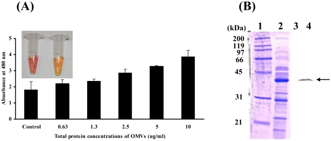 A. baumannii OMVs contain biologically active proteins. (A) A. baumannii OMVs were incubated with 100 mM <t>nitrocefin</t> in PBS at 30°C for 30 min. Hydrolysis of nitrocefin was monitored at 480 nm using a UV spectrophotometer. Inlet figure: left, brown colorization of nitrocefin in A. baumannii OMVs; right, negative control of nitrocefin in PBS. (B) SDS-PAGE of proteins packaged in the OMVs from A. baumannii ATCC 19606 T (lanes 1 and 2) and its Western blot analysis (lanes 3 and 4). The samples were immunoblotted with a rabbit anti-AbOmpA immune serum. Lanes 1 and 3, molecular weight maker; 2 and 4, OMV fraction. Arrows indicate AbOmpA.