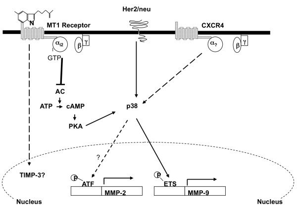Model of melatonin regulation of breast cancer cell invasion . Ligand-dependent activation of the membrane-associated G-protein-coupled receptor MT1 leads to coupling of G i2 protein to MT1 receptor. As a result, the Gα i2 subunit dissociates from the Gβγ subunits and inhibits the activity of adenylcyclase (AC), and this leads to a decrease in the intracellular level of cAMP and inhibition of protein kinase A (PKA) activity. The cAMP/PKA pathway cross-talks with the p38 pathway through PKA. In response to the reduced cAMP level, activity of p38 is suppressed, and this causes further downregulation of MMP-9 expression via repression of ETS1 transcriptional activity and, potentially, downregulation of <t>MMP-2</t> transcription. MMP, matrix metalloproteinase.