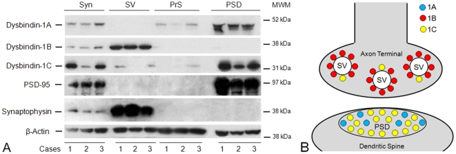 Subsynaptic localization of dysbindin-1 isoforms. A : Western blotting results on synaptosomal (Syn), synaptic vesicle (SV), presynaptic membrane (PrS), and postsynaptic density (PSD) fractions of the normal HF from three control cases (1–3) in this study. Successful synaptic fractionation was confirmed with synaptophysin as a marker for synaptic vesicles and <t>PSD-95</t> as a marker for the PSD. No selective molecular marker is available for the PrS fraction, including syntaxin-1 since this proves to be ubiquitously distributed on subcellular membranes. β-actin served as the loading control. The blots were probed with PA3111 (1∶1000) for dysbindin-1A and -1C and with UPenn 331 (1∶5000) for dysbindin-1B. In synaptosomes, dysbindin-1A and -1C were found to be predominantly PSD proteins, while dysbindin-1B was found to be predominantly a synaptic vesicle-associated protein. MW = molecular weight marker position. B : Diagram of pre- and/or post-synaptic location of dysbindin-1 isoforms consistent with the Western blotting results just shown and with dysbindin-1 immunohistochemical findings at the electron microscopic level by Talbot et al. [43] .