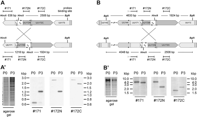 <t>DNA</t> inversion in the UU172 element of U. parvum serotype 3 clonal variants 27815 T -K5 and M14-K16. Schematic illustration of the DNA inversion event in (A) 27815 T -K5 and (B) M14-K16. Southern blot analyses of (A′) 27815 T -K5 before (P0) and after (P3) selective pressure with Pab α-U172C and (B′) M14-K16 before and after selective pressure with Pab α-U144. Genomic DNA was digested with <t>BglII</t> and HincII and hybridized with the DIG-11-dUTP-labelled probes (see Table S3 ) indicated below the blots.