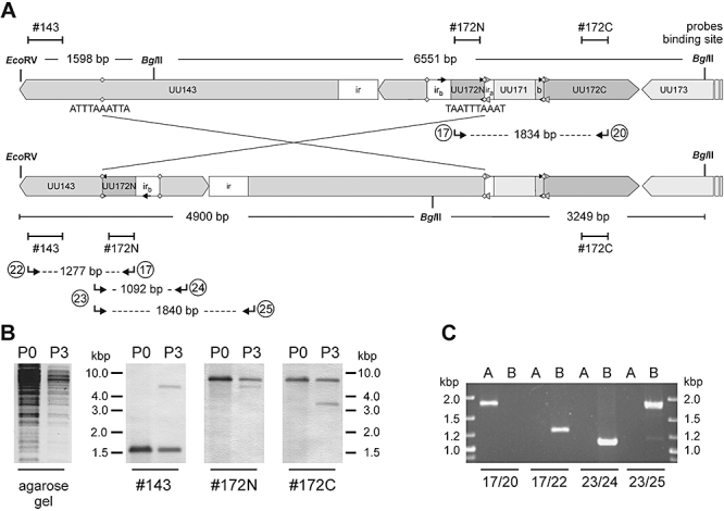 DNA inversion of the UU172 element in U. parvum serotype 3 clonal variant V892-K2. A and B. (A) Schematic illustration of the DNA inversion event and (B) Southern blot analysis of V892-K2 before (P0) and after (P3) selective pressure with Pab α-U172C. Genomic DNA was digested with BglII and EcoRV and hybridized with the DIG-11-dUTP-labelled probes (see Table S3 ) indicated below the blots. C. PCR analysis of subclones A and B with primer pairs 17/20, 17/22, 23/24 and 23/25 (see Table S3 ).