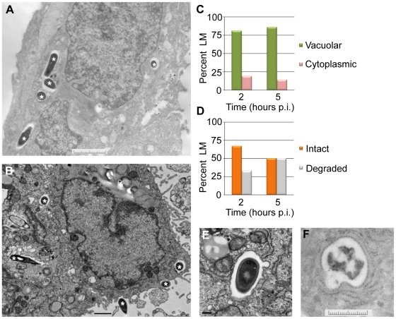 L. monocytogenes (LM) in EVT is largely confined to vacuoles. ( A,B ) Representative transmission electron micrographs from 2 ( A ) and 5 ( B ) hours post-inoculation (p.i.). Bacteria are marked with asterisks. Scale bars are 2 and 1 µm respectively. ( C ) Quantification of subcellular localization of bacteria in EVT at 2 and 5 hours p.i. ( D ) Quantification of intact versus degraded bacteria in vacuoles in EVT at 2 and 5 hours p.i. ( E ) Close-up image at 5 hours p.i. shows a single membrane vacuole surrounding intact bacterium. Scale bar is 100 nm. ( F ) Close-up image of degraded bacterium in a vacuole in EVT at 5 hours p.i. Scale bar is 2 µm.