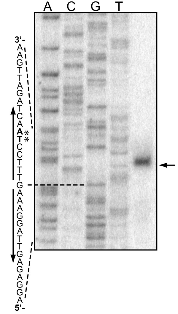 Primer extension analysis of csnN106 transcripts . The apparent 5' terminus for the csnN106 transcript was identified by annealing a radiolabeled primer complementary to the mRNA of csnN106 and extension with reverse transcriptase. 40 μg of total RNA, from GlcN-chitosan oligomers induced S. lividans TK24(pHPr-WT), were used for extension reaction. The same primer was used for DNA sequencing reactions with the pHPr-WT plasmid. (→): primer extension product; (*): apparent transcription start site. Vertical arrows: palindromic sequence.