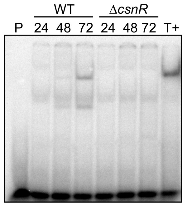 Effect of csnR deletion on DNA-protein interaction at the csnN106 gene operator . Gel retardation experiment was set up combining 0.1 nM double strand oligonucleotide probe covering the palindromic box of csnN106 with 10 μg of crude protein extracts from S. lividans TK24 strain (WT) or the csnR deleted strain ( ΔcsnR ) cultivated in medium with 0.125% GlcN and 0.375% chitosan oligomers for the time (hours) indicated. P: probe only; T+: control reaction with 2 μg of partially purified protein from Kitasatospora sp. N106 [ 39 ].