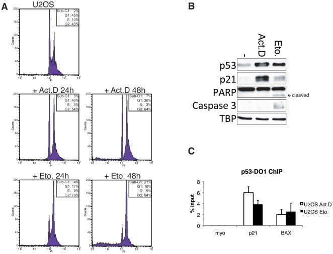 Treatment of U2OS cells with Actinomycin D or Etoposide activates p53. (A) Representative cell cycle profiles of U2OS cells untreated or treated for 24 or 48 hours with 5 nM Actinomycin D or 10 µM Etoposide. (B) Western blot showing p53, and p21, cleaved PARP and active Caspase-3 protein levels in whole cell extracts of U2OS cells untreated or treated for 24 hours with 5 nM Actinomycin D or 10 µM Etoposide. TBP is used as loading control. (C) ChIP recovery of p53-binding to the p21 and BAX promoter in U2OS cells treated for 24 hours with 5 nM Actinomycin D or 10 µM Etoposide. ChIP was performed with a p53-antibody (p53-DO1) and qPCR analysis was performed with primers for the respective binding sites. Binding to Myoglobin (myo) was used as a negative control. Error bars represent standard deviation of three individual experiments.