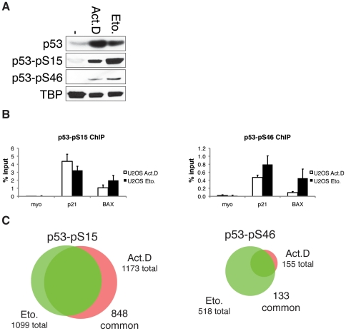 DNA-binding of p53 phosphorylated at Serine 15 and 46. (A) Western blot showing protein levels of p53, p53 phosphorylated at Serine 15 (p53-pS15) and p53 phosphorylated at Serine 46 (p53-pS46) in whole cell lysates of U2OS cells untreated or treated for 24 hours with 5 nM Actinomycin D or 10 µM Etoposide. TBP is shown as loading control. (B) ChIP-qPCR recovery of p53-pS15 and p53-pS46 binding to the p21 and BAX promoter in U2OS cells treated for 24 hours with 5 nM Actinomycin D or 10 µM Etoposide. ChIP was performed with p53-pS15-antibody or p53-pS46-antibody and qPCR analysis was performed with primers for respective binding sites. Myoglobin (myo) was used as a negative control. Error bars represent standard deviation of three individual experiments. (C) Overlap of p53-pS46 binding sites (left panel) and p53-pS15 binding sites (right panel) of ChIP-seq performed after 5 nM Actinomycin D or 10 µM Etoposide treatment for 24 h using the Genome analyzer (Illumina).