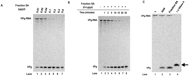 Optimal assay conditions for detecting unlinkase activity using full-length poliovirus virion RNA 35 S-methionine labeled substrate. A protein chromatography fraction enriched for unlinkase activity was incubated with full-length 35 S-methionine radiolabeled W1-VPg 31 virion RNA substrate with either (A) increasing amounts of protein (0.01, 0.02, 0.04, 0.1, 0.2, 0.4, and 0.6 µg/µl) from an enriched source of unlinkase activity (Fraction SA) at 30°C for 30 minutes or (B) increasing incubation time (0, 1, 2, 5, 10, 15, 20, and 30 minutes) with 0.4 µg/µl of protein from a partially-purified fraction of unlinkase activity (Fraction SA) to determine optimal assay conditions for the full-length substrate. (C) 35 S-methionine radiolabeled W1-VPg 31 virion RNA substrate was mock-incubated (lane 1), incubated with 0.8 µg/µl RSW (lane 2), 0.4 µg/µl of protein from a partially-purified fraction of unlinkase activity (Fraction SA) (lane 3), or one unit of RNase A (lane 4) to differentiate between non-specific nuclease activity and authentic unlinkase activity.
