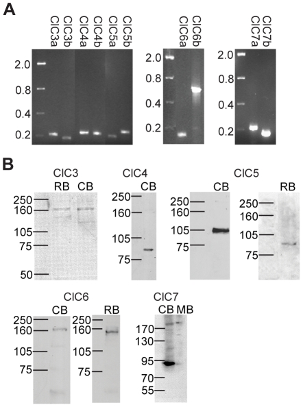 CLC H + /Cl − antiporters are expressed in chicken neurons. A , RT-PCR amplification of ClCs 3–7 mRNA from a mixed population of cultured chick retinal neurons. Two primer pairs for each transporter amplified single products of the expected size (in kb). B , Western blots of chicken, rat, and mouse brain protein probed with antibodies specific for mammalian ClCs 3–7 reveal labeling of bands at the expected molecular weights for each protein. CB, chicken brain; RB, rat brain; MB, mouse brain.