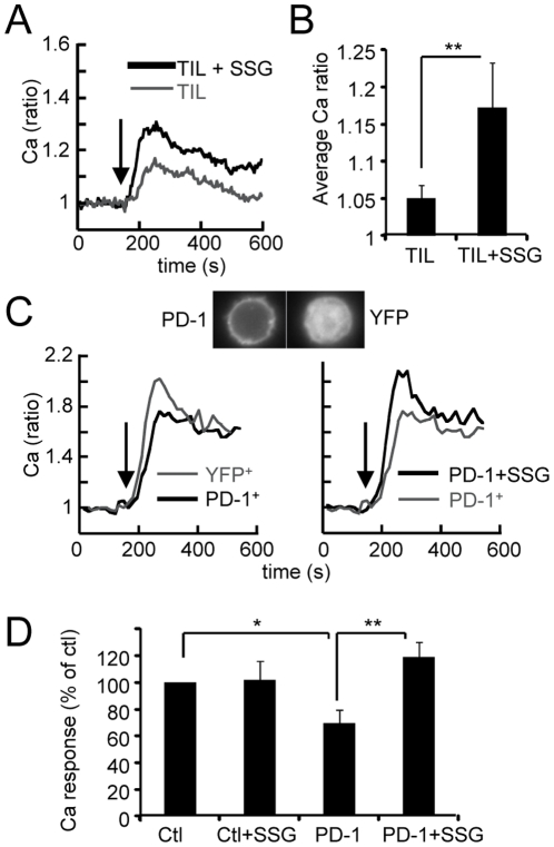 PD-1 expression delivers an inhibitory signal attenuated by sodium stibogluconate. ( A ) Typical average Ca responses elicited by anti-CD3 (arrow) in melanoma TIL, treated or not for 20 min with SSG. ( B ) Average Ca responses in TIL treated or not with SSG (n = 12 tumors). ( C ) Top: fluorescence images of PD-1 and YFP-transfected PBT. Bottom: typical average Ca responses triggered by anti-CD3 (arrows) in YFP + and PD-1 + transfectants (left) and in PD1 + transfectants treated or not with SSG (right). ( D ) Average Ca response (in % of the response in YFP + cells) in YFP + and PD-1 + transfectants treated or not with SSG (n = 7 independent experiments). Data represent mean +/− SEM * p